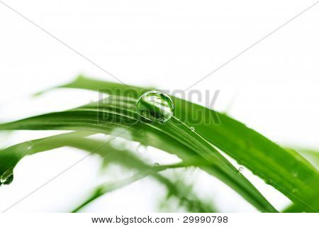 Green grass with water drops isolated on white background