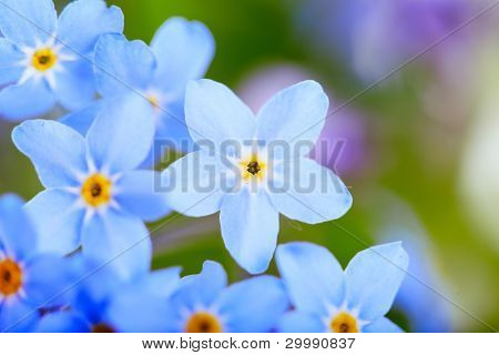 beautiful blue flowers  against white background. Super macro