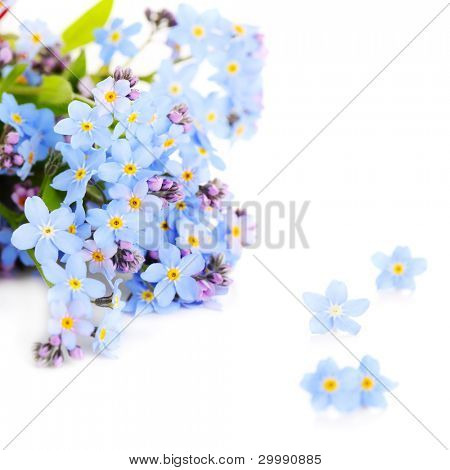 beautiful blue forget-me-not isolated on a white background