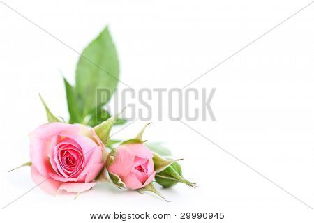 flowers roses isolated on white background