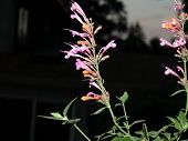 foto of hyssop  - Agastache Acapulco Salmon and pink in my garden - JPG