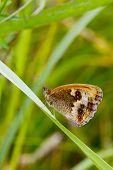 image of gatekeeper  - Gatekeeper Butterfly  - JPG