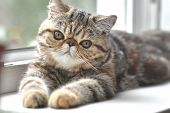 Brown Exotic Shorthair Cat Lying On The Windowsill poster