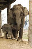Mother Elephant And Baby Elephant Chithwan Elephant Breeding Center Nepal poster