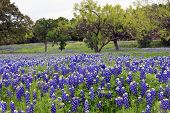 image of bluebonnets  - Bluebonnets on a hillside in the Texas Hill Country - JPG