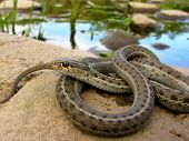 stock photo of terrestrial animal  - A western terrestrial garter snake basking near water - JPG