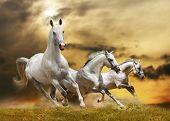 Постер, плакат: Белые лошади