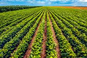 Perfect Soybean Field. Cultivated Soya Bean Plantation Without Weed Is Growing And Ripening. poster
