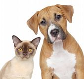 stock photo of puppy eyes  - Burmese cat and Staffordshire Terrier portrait on white background - JPG