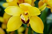 picture of yellow orchid  - Great Yellow Orchid in green background - JPG