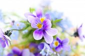 pansies on white background.Floral border.