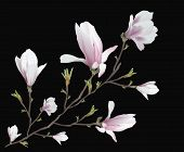 Realistic Flower, Magnolia Branch Isolated On Black Background. Magnolia Branch - A Symbol Of Spring poster