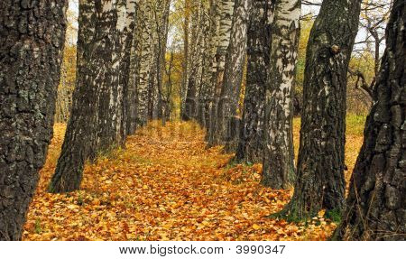 Birch Autumn.