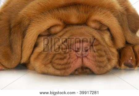 dogue de bordeaux puppy face - 4 weeks old
