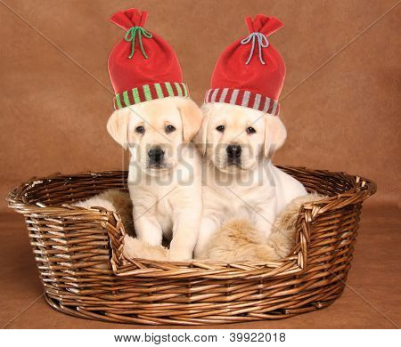 Two labrador retriever puppies wearing Christmas santa hats.