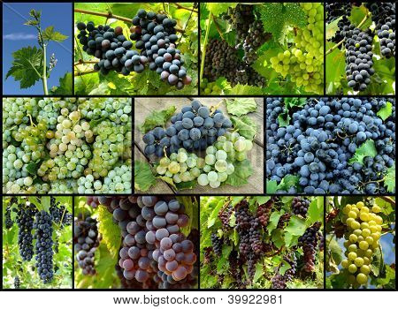 grapes growing and ripening in vineyard