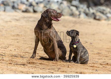 A Chocolate Labrador and a baby Boxer pup train to retrieve decoys