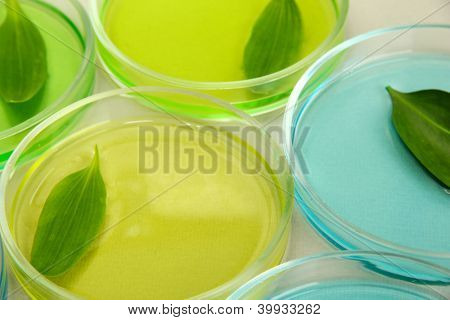 Genetically modified leaves tested in petri dishes, on grey background
