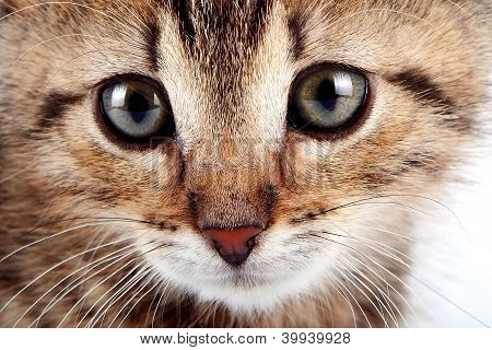 Muzzle Of A Striped Kitten