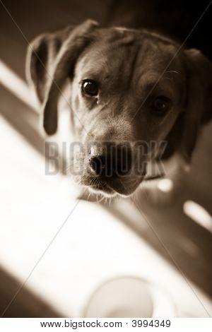 Hambre Beagle
