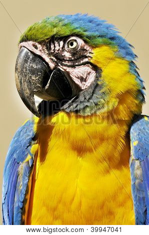 The Blue-and-Yellow Macaw