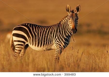 Zebra da montanha do Cape