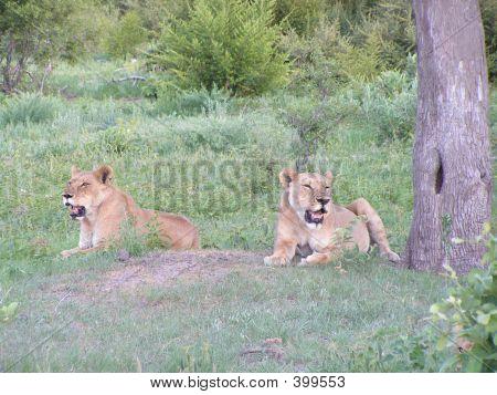Lions In Botswana