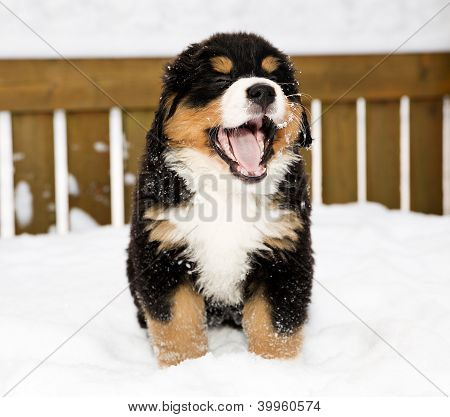 Bernese Mountain Dog Puppet Is Yawing Widely