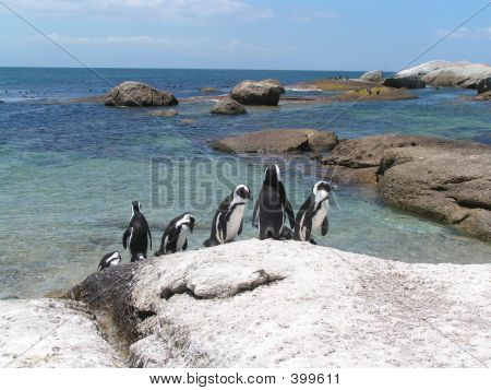Jackass Penguins