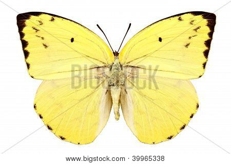 "Mariposa especies Catopsilia Pomona Pomona ""limón emigrante"""
