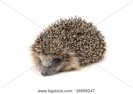 Hedgehog Lying On The Floor In Front Of A White Background