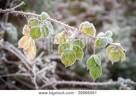 Winter Brambles