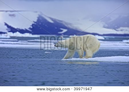 Polar Bear Test Water