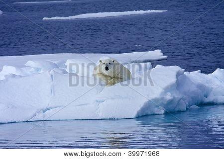 Polar Bear Rest