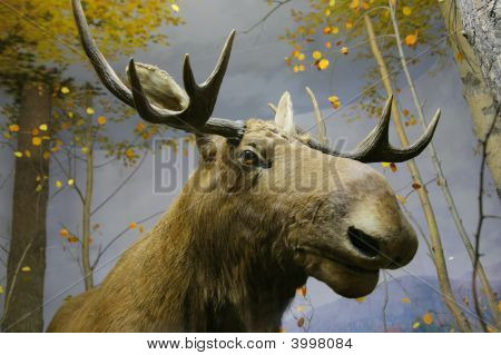 Close-up Of Elk Head