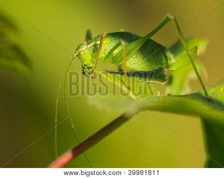Female Of A Speckled Bush-cricket (leptophyes Punctatissima) Eating A Leaf