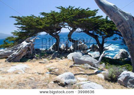 Monterey-Zypresse