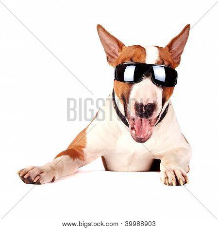 fröhlich Bullterrier Sonnenbrillen