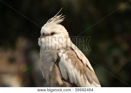 Close Up Cockatiel