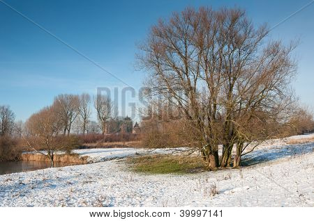 Bare Tree With Many Trunks In Winter