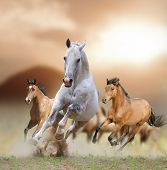 stock photo of galloping horse  - horses in a sunset running in the dust - JPG
