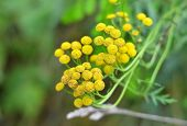 image of tansy  - Plant of Tansy  - JPG
