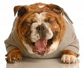 stock photo of dog teeth  - adorable english bulldog laying down with mouth opening laughing - JPG