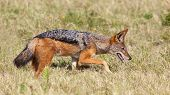 stock photo of jackal  - A black-backed jackal (Canis mesomelas) also known as the silver-backed or red jackal in the Eastern Cape South Africa.