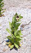 stock photo of horsetail  - Green plant horsetail on sand Green plant - JPG
