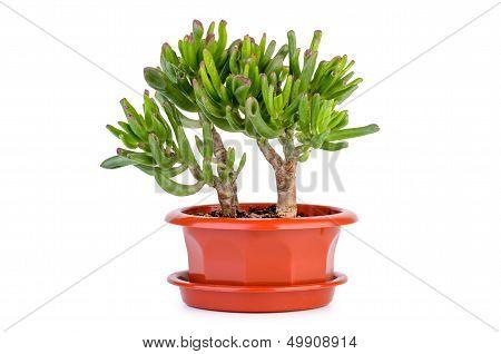 Crassula Gollum or Trumpet (Finger) Jade