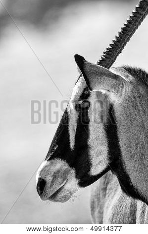 Gemsbok Portrait Standing In The Hot Kalahari Sun