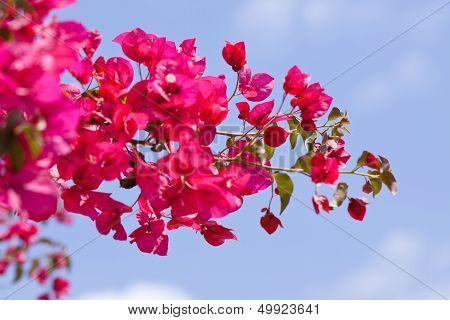 Beautiful Pink Magenta Bougainvillea Flowers And Blue Sky