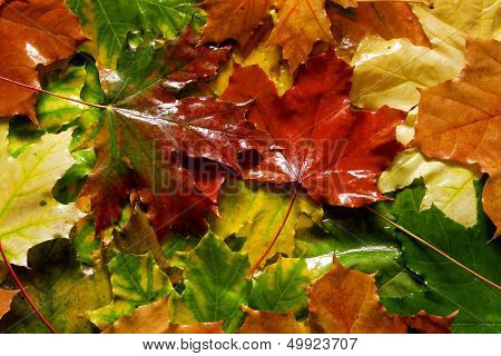 wet yellow and red maple leaves as autumn background