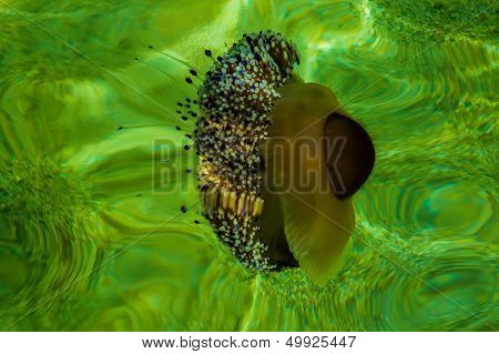 Mediterranean Jellyfish In Green Waters
